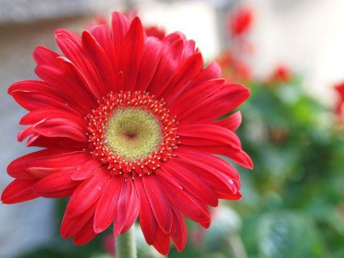 gerber daisy flower red