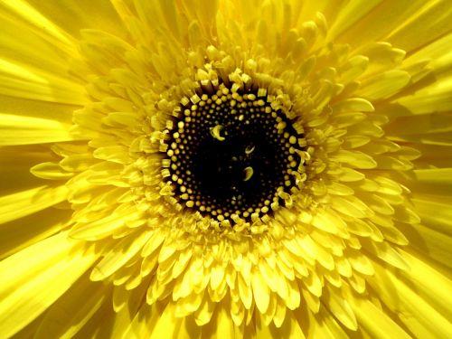 gerber daisy lemon color beautiful