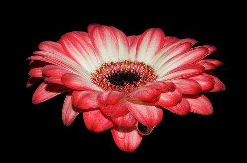 gerbera petals red