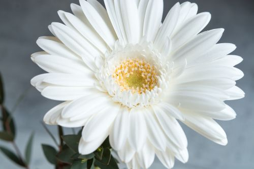 gerbera flower white