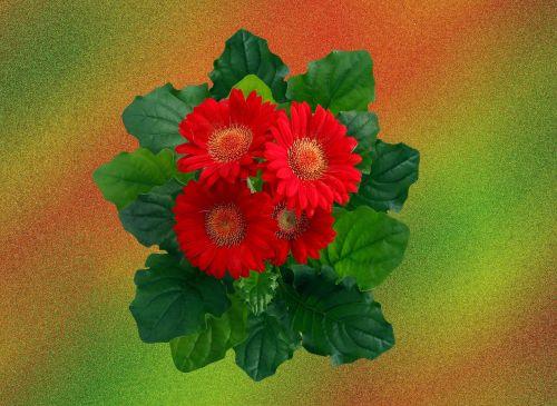 gerbera red blossom