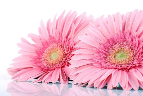Gerbera,gerberai,gėlės,švelnus,delikatesas,skintos gėlės,dekoratyvinė gėlė,supjaustytos gėlės,szklarniowy gėlė,gamta,augalas,apdaila,žydi,jos gėlės,rožinis,rožės,žiedlapiai