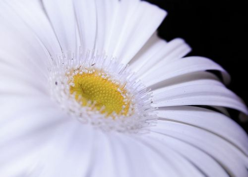 gerbera white close
