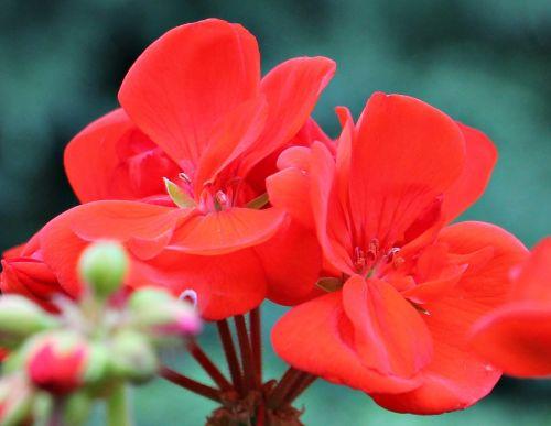 geranium red blossom