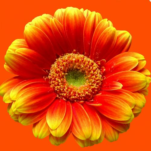 gerbera orange nature