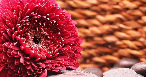 Gerbera,gėlė,žiedas,žydėti,kompozitai,raudona,raudona gerbera,raudona gėlė,asteraceae,fonas,fono paveikslėlis