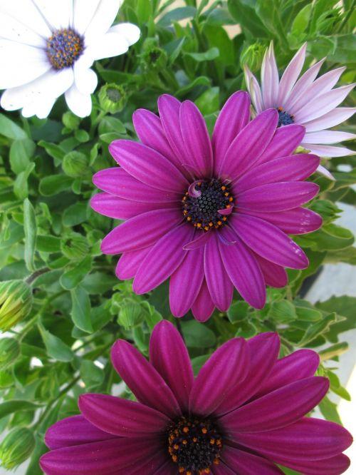 gerbera flower pink