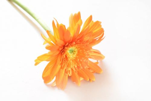 gėlė, spalvos, žiedlapiai, tvirtas, pistil, Gerbera, Gerbera 2