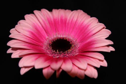 gerbera flower blossom