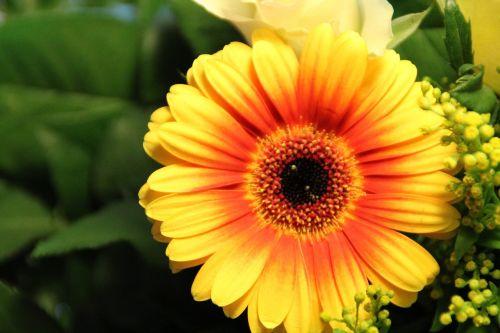 gerbera yellow orange