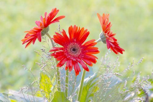 gerbera garden spring