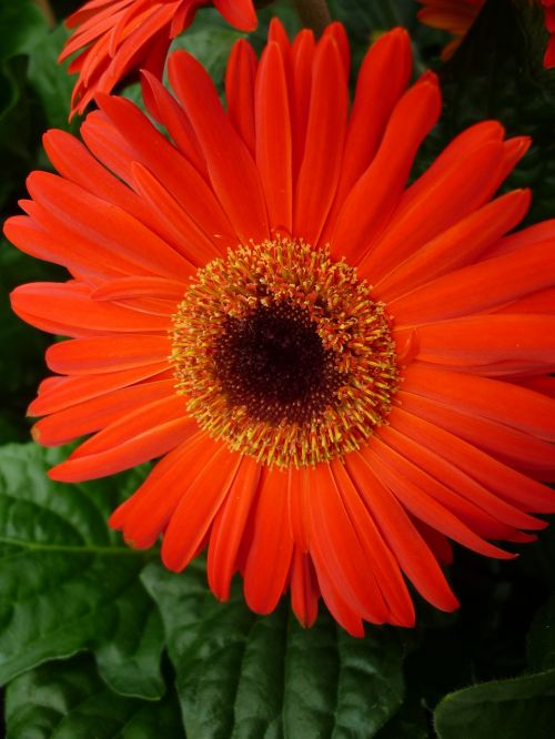 gerbera reddish-orange blossom
