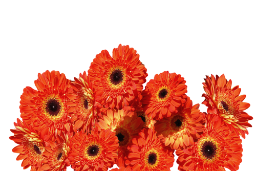 gerbera flowers colorful