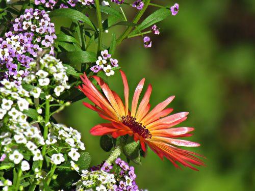 gerbera flowers nature