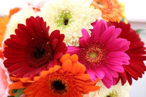gerbera  daisy  gerbera flower