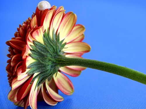 gerbera  blossom  bloom