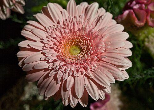 gerbera flower plant