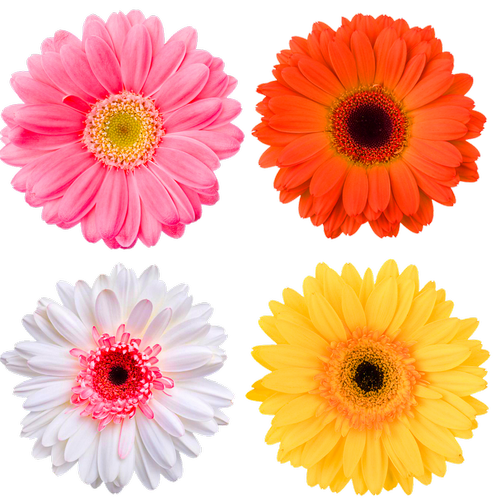 gerbera daisies  pink daisy  yellow daisy