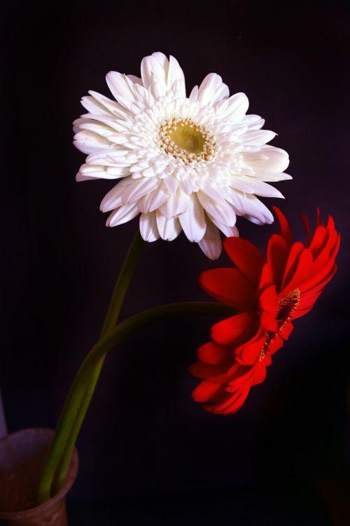 Gerbera Daisy 13