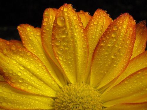 Gerbera Daisy,Daisy,gėlė,žiedas,gamta,gėlių,pavasaris,geltona