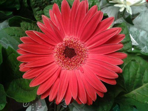 gerbera daisy flower nature