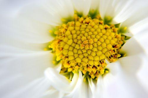 gerbera daisy white yellow
