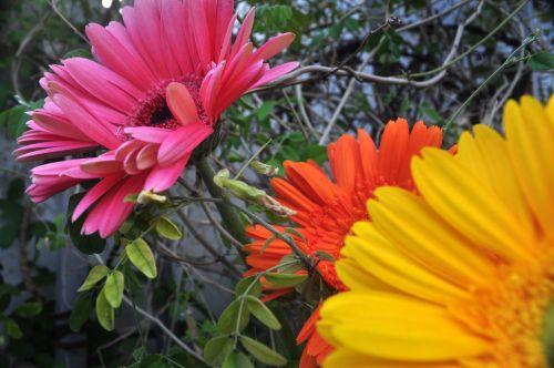 Gerbera, Daisy, pavasaris, gamta, gėlė, spalva, gerbera daisy01
