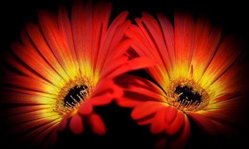 Gerbera, raudona, oranžinė, geltona, Uždaryti, uždaryti & nbsp, makro, gamta, augalas, vasara, rožinis, žiedai, gėlės, humoras, balta, rožinė & nbsp, gėlė, augalas & nbsp, gyvenimas, flora, makro & nbsp, nuotrauka, subtilus, gėlių & nbsp, makro, spalva, spalvinga, linksmas, Gerbera dvyniai