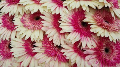 gerberas gerbera rosa