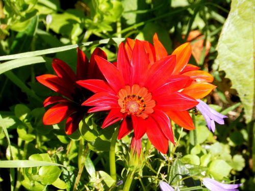 gerberas flower summer