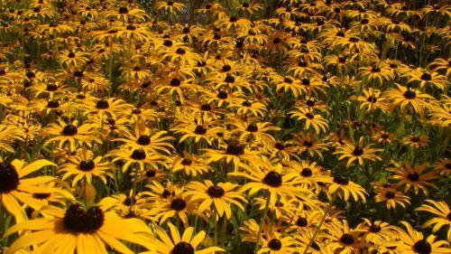 gerberas daisies lindau
