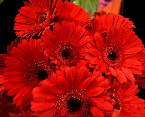 gerberas red red flower