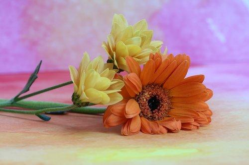 gerbéras  marguerite  flower