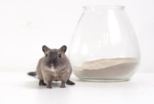 gerbil desert rat burmese