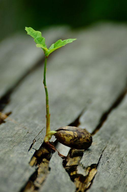 germ seedling oak