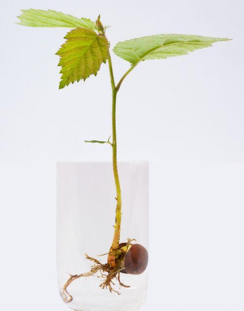 germ germ leaves hazelnut