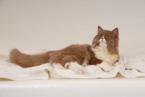 german longhaired pointer brit cat