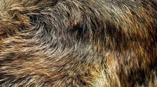 german shepherd fur wolf