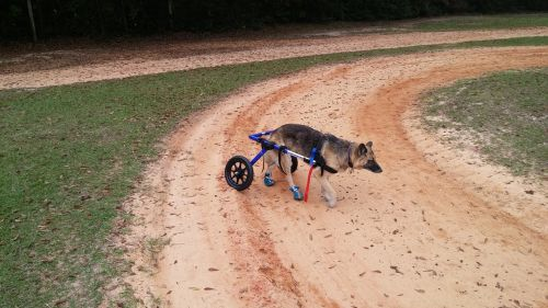 german shepherd dog wheelchair