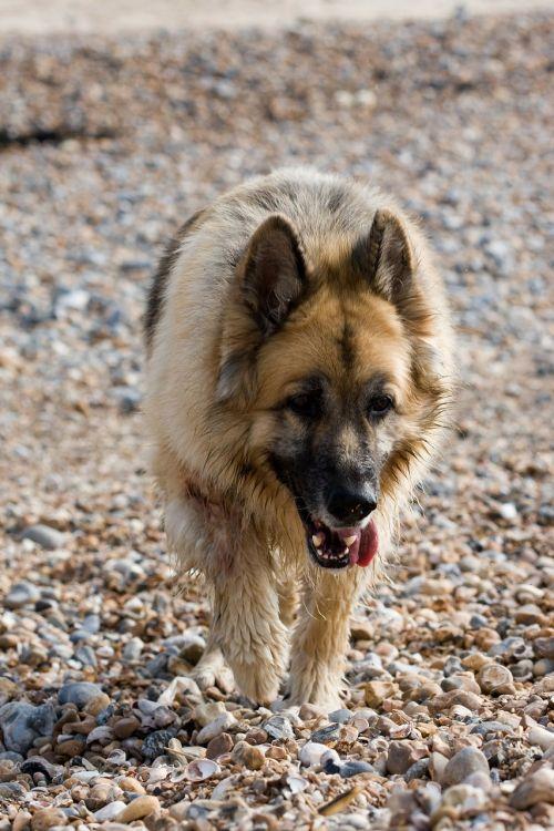 german shepherd alsatian dog