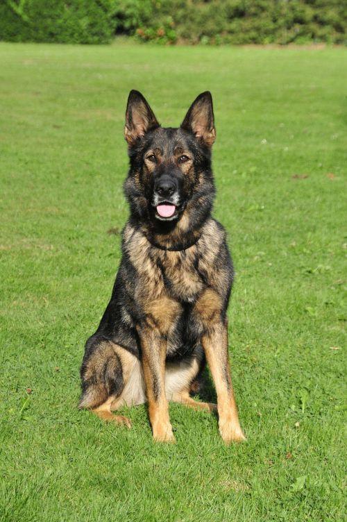 german shepherd working dog shepherd