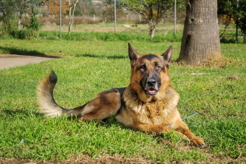 german shepherd dog pet