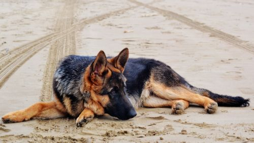 german shepherd dog dog lying down