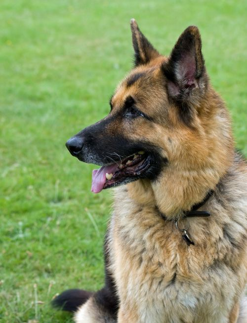 german shepherd dog alsatian