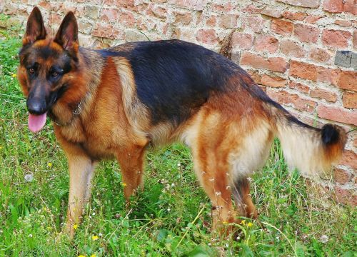 german shepherd dog canine