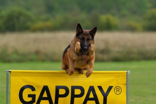 german shepherd dog competition