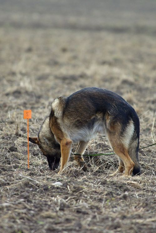 german shepherd tracking competition