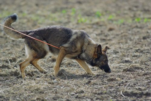 german shepherd dog tracking