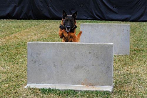german shepherd dog canine