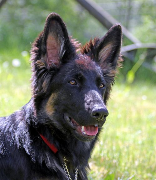 german shepherd dog long-haired youngster